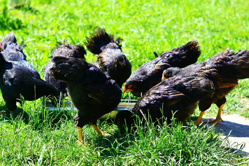 Công bố chất lượng hợp quy thức ăn chăn nuôi